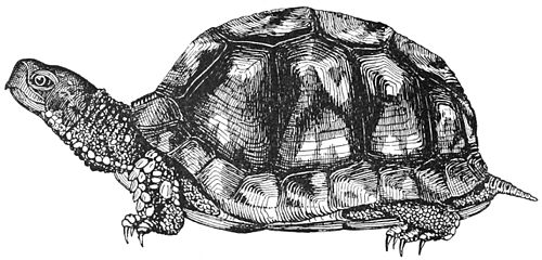PSM V38 D070 The box tortoise.jpg