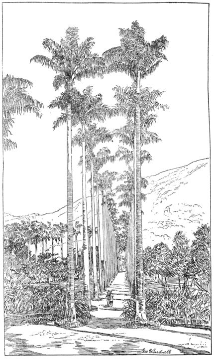 PSM V60 D394 Avenue of royal palms at the rio de janeiro botanical gardens.png