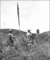 PSM V75 D442 Sotol on the hacienda de santa inez.png