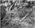 PSM V77 D377 Four nests of the white ibis.png
