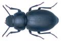 Pachychila reini (Haag-rutenberg, 1875) (33488014623).png