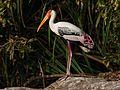 Painted Stork7.jpg