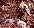 Painted Stork in Delhi Zoo.jpg