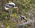 Painted stork - adult and juvenile (Mycteria leucocephala ) - Flickr - Lip Kee.jpg