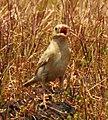 Pale rockfinch (ഇളം പാറക്കുരുവി ) - 14.jpg