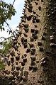 Palo Borracho Thorns (2348962261).jpg