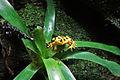 Panamanian golden frog 01 2012 BWI 00396.JPG