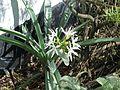 Pancratium illyricum - Flickr - peganum.jpg