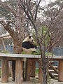 Panda at Oji Zoo.JPG