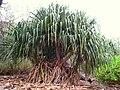 Pandanus jalvitensis - Koko Crater Botanical Garden - IMG 2175.JPG