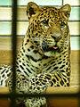 Panthera pardus melas (Tierpark Berlin) - 1008-890-(118).jpg
