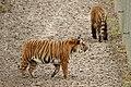 Panthera tigris jacksoni at Parc des Félins 09.jpg