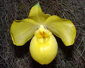 Description de l'image Paphiopedilum armeniacum Orchi 02.jpg.
