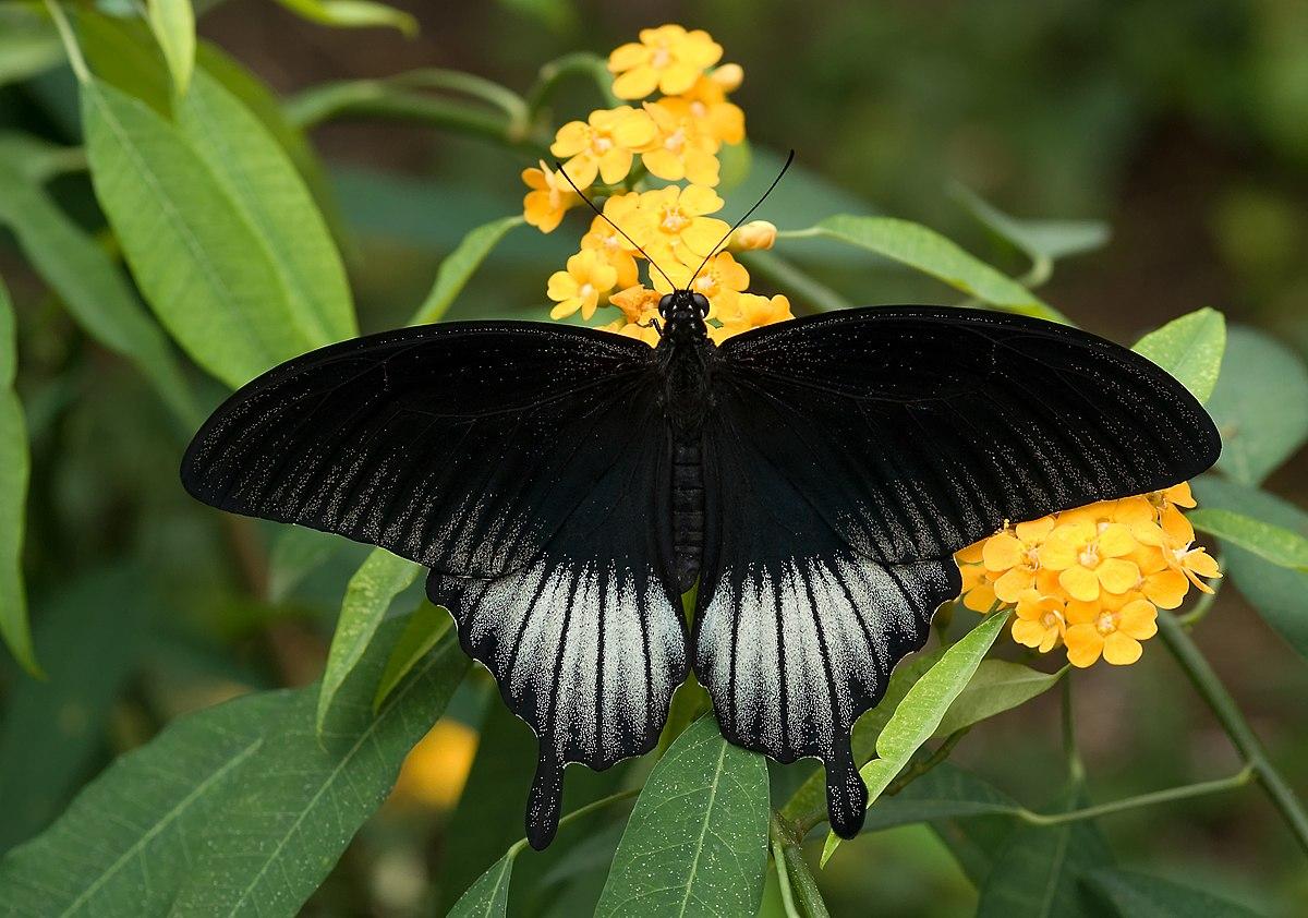 Papilio memnon - Wikipedia