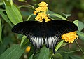Papilio-pjt1.jpg