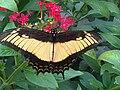 Papilio androgeus3.jpg