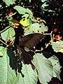 Papilio helenus - Red Helen nectaring on Helicteres isora 02.JPG