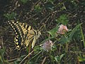 Papilio machaon - Common yellow swallowtail - Махаон (41131276492).jpg