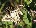 Papilio machaon DVRZ1.jpg