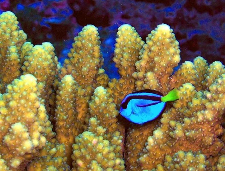 File:Paracanthurus hepatus a coral reef fish.jpg