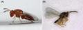 Parasite160063-fig4 - Aprostocetus causalis.png