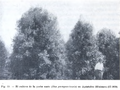 "Parodi 1935 Ilex paraguariensis ""yerba mate"" Misiones.png"