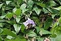 Passiflora Jeanette 1zz.jpg