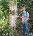 Paul Rutledge provides scale by standing near a large Yellow Birch found on the Trapp Farm Nature Preserve Wetland Reserve Program project in Benzie County, MI.jpg