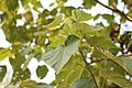 Paulownia tomentosa - Paulovnjia (2).jpg