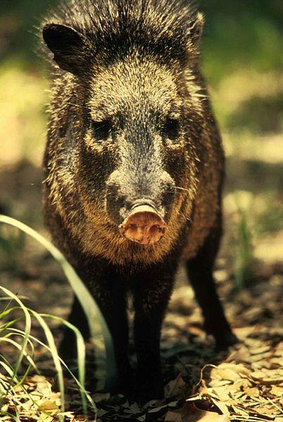 File:Peccary javelina wild boar or skunk pig tayassu tajacu.jpg