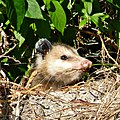 Peekaboo Possum (5620085467).jpg