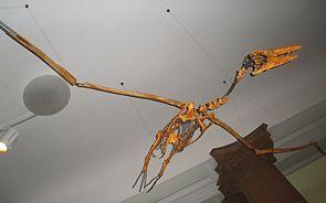 Skelettrekonstruktion von Pelagornis chilensis im Senckenberg Naturmuseum in  Frankfurt