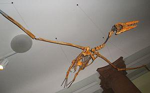 Pelagornis - P. chilensis skeleton seen from below