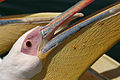 Pelican Close-up Walvis Bay Namibia Luca Galuzzi 2004.JPG