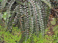 Pellaearotundifolium.jpg