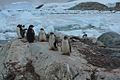 Penguins at the Chilean research station 31.jpg
