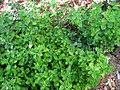 Peperomia blanda var. floribunda (5187734137).jpg