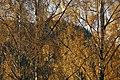 PermaLiv Høstbjørk med høstfarger i Totenvika 29-10-20 4.jpg