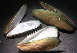 Three shells of Perna viridis