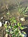 Persicaria lapathifolia subsp. brittingeri sl1.jpg
