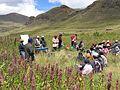 Peru Chenopodium quinoa.jpg