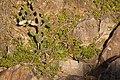 Petrogale penicillata (34525216144).jpg