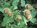 Pflanze Blütenstand IMG 1697.JPG
