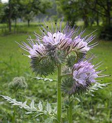 Phacelia Tanacetifolia Wikipedia