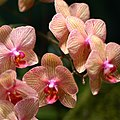 Phalaenopsis hybrid yellow and pink.jpg