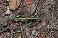 Phasmatodea (36483754804).jpg