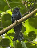 Philippine Drongo-Cuckoo.jpg