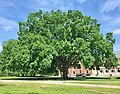 Phillips Academy Elm Tree, Andover, MA - May 2020.jpg