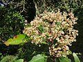 Photinia integrifolia at Mannavan Shola, Anamudi Shola National Park, Kerala (12).jpg