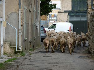 Nant, Aveyron - Herd of dairy sheep in the village